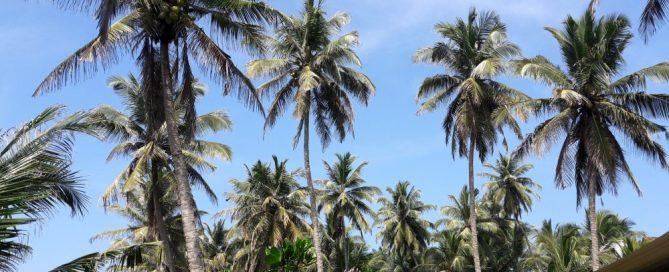 Sri Lanka kokosnootboom